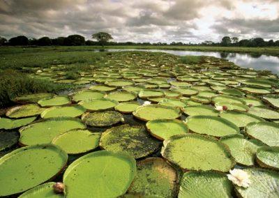 plantas-aquaticas-vitoria-regia